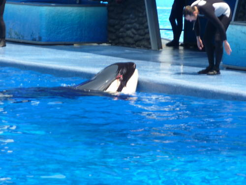 Incidents At Seaworld Parks: Do Orcas At Marine Parks Injure One Another?